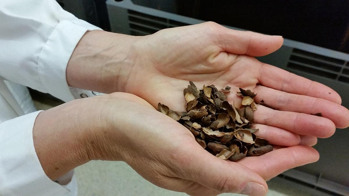 Elimination des enveloppes des fèves